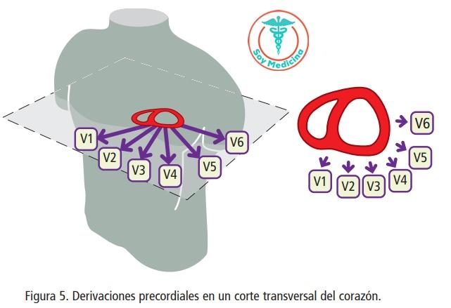 Figura 5. Derivaciones precordiales en un corte transversal del corazón.